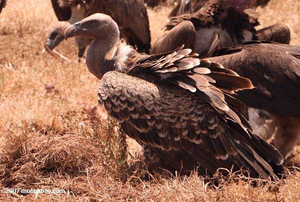 Decimated by poisoning, the white-backed vulture has been uplisted to Endangered. Photo by: Rhett A. Butler.