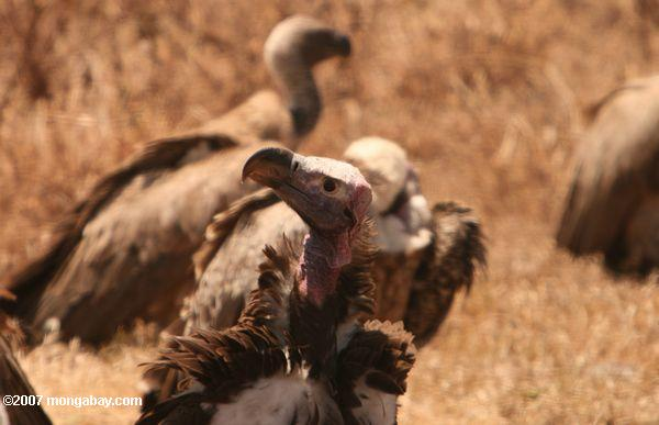 Vultures, like this one in Tanzania, may not be the prettiest of birds, but they are incredibly efficient at taking care of corpses, which could otherwise spread disease. Many species of vultures have plummeted recently due to poisoning from cattle drugs. Photo by: Rhett A. Butler.