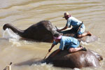 Mahouts atop elephants in a river