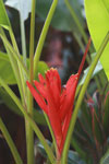 Red heliconia
