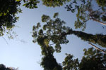 Towering canopy tree