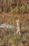 Macaque standing on its legs