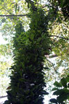 Tree trunk dense with orchids and epiphytes