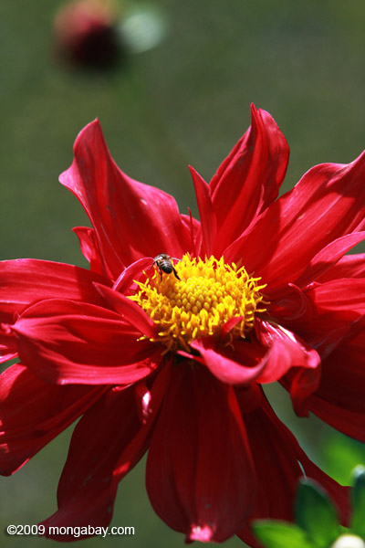 Red dahlia with a bee
