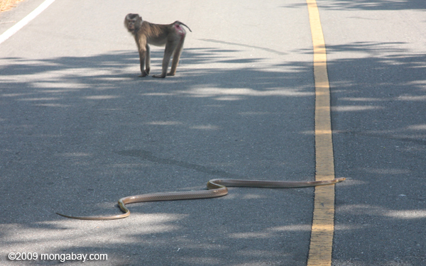 Macaque monkey watching a king cobra (Ophiophagus hannah) cross a road