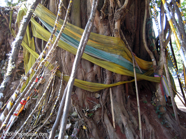 Prayer flags around a banyan tree