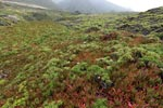 Ice plant and other coastal vegetation in Big Sur