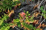 Red-leaved plant