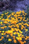 California poppies in Big Sur