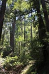 Redwood forest in Pfeiffer Big Sur State Park