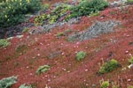 Red iceplant