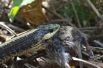 Garter snake (Thamnophis atratus) swallowing a rat in Big Sur