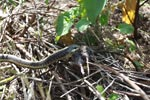 Garter snake (Thamnophis atratus) eating a rat in Big Sur