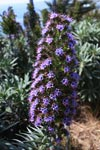 Purple flower (Tower of Jewels - Echium wildpretii) in Big Sur
