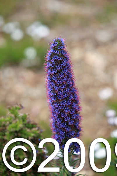 Tower of Jewels (Echium wildpretii) flower in Big Sur