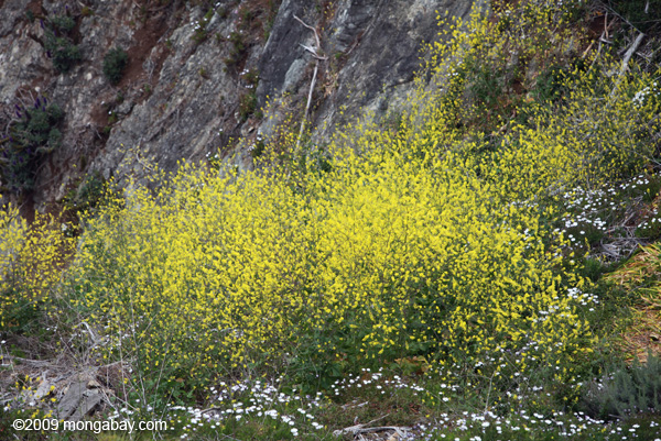 Yellow flowers in Big Sur