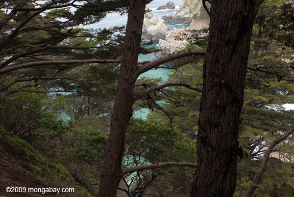 Pine trees on the Big Sur coast