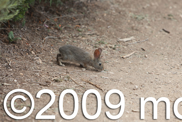 Young Brush Rabbit (Sylvilagus bachmani)