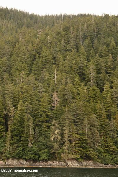 Temperate rainforest of Alaska. According to the biotic pump theory, both temperate and tropical forests play a similar role in precipitation patterns. Photo by: Rhett A. Butler.
