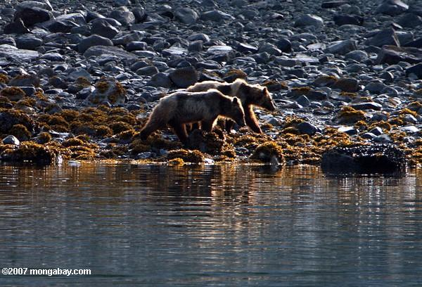 Two young brown bears on a rocky beach in Alaska