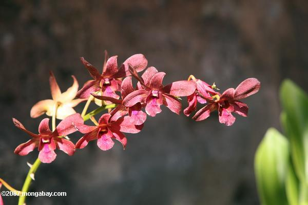 Maroon-red orchid