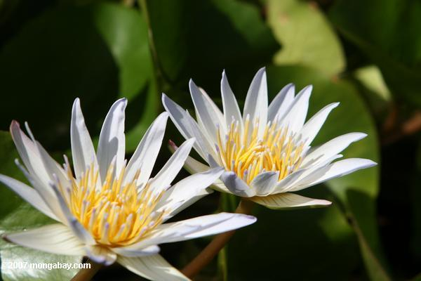 White and yellow water lily