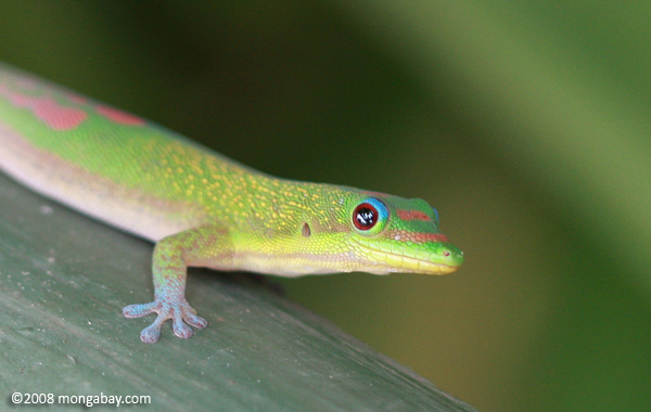 The non-native gold dust day gecko in Hawaii. Photo by: Rhett A. Butler.