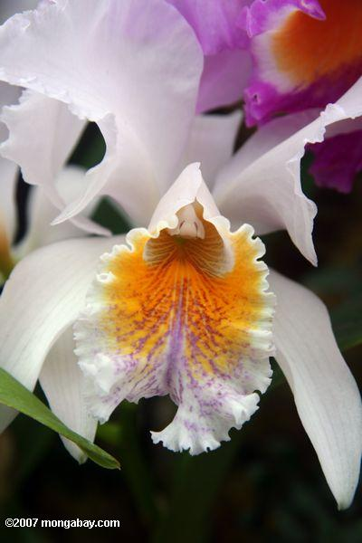 White, yellow, and lavendar orchid blossom