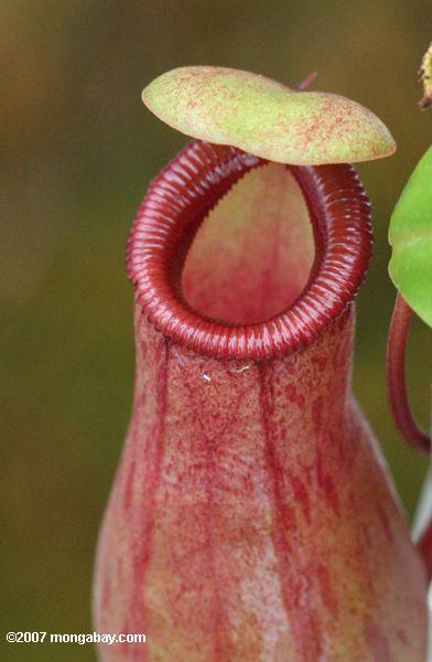 Mouth of a red Nepenthes pitcher plant from southeast Asia
