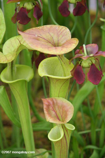 American pitcher plants (Sarracenia)