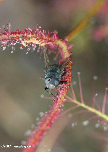 Fly caught in a red sundew (Drosera capensis), a carnivorous plant