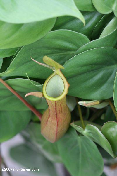 Nepenthes pitcher plant from SE Asia