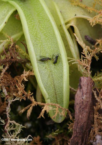 Pinguicula bladderwort species with trapped insects