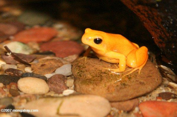 Golden Mantella poison frog from Madagascar