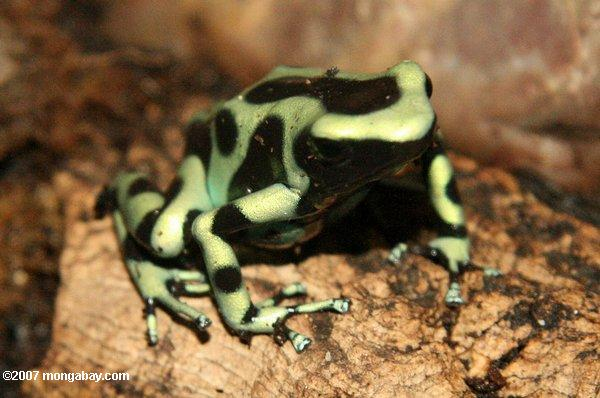 Green Arrow Frogs
